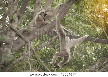 A white-handed gibbon (Hylobates lar) sitting and hanging on tree.