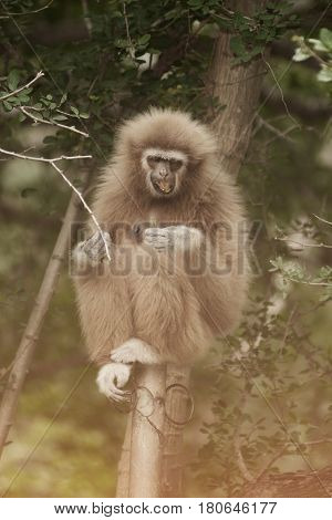 A white-handed gibbon (Hylobates lar) sitting on tree
