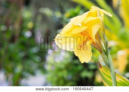 yellow flower. flower Canna. The background is blurred bokeh