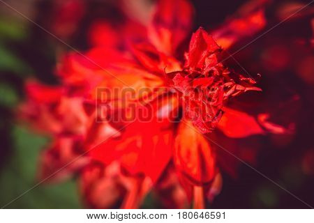 Nature Background. Beautiful bed with red flowers of the Salvia Divinorum. Valentine