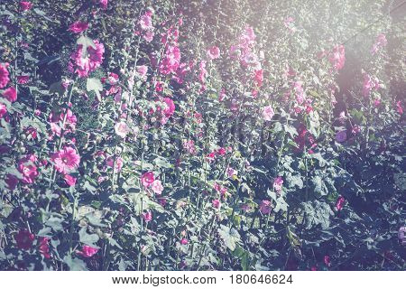 background nature Flower.Flower Garden faintly sunlit. Full flower