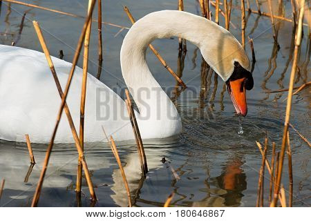 Close-up of a white mute swan (cygnus olor) in the water among reeds
