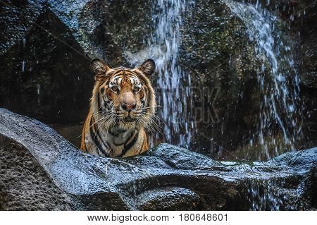 Tiger standing behind rock infront of waterfalls in natural park