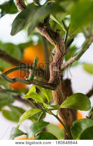 Citrofortunella Microcarpa - Calamondin Tree