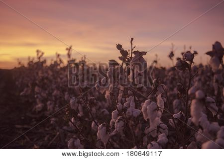 Cotton Field In Oakey, Queensland