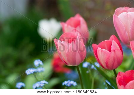 Tulip and forget me not - spring blue garden flowers symbol of spring