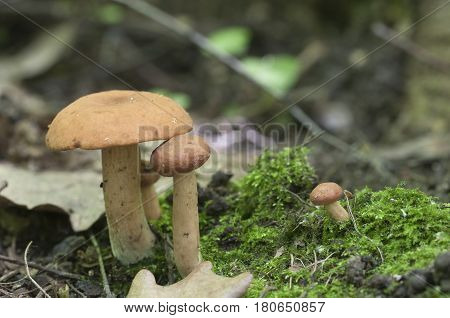 Rufus milkcap (Lactarius rufus) mushroom close up shot