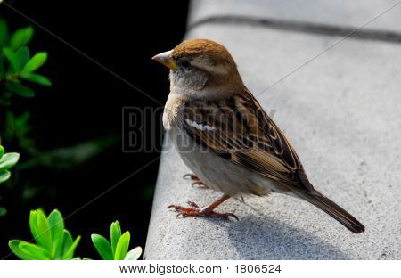 CUTE LITTLE SPARROW SITTING ON A WALL NATURE CLOSE UP poster