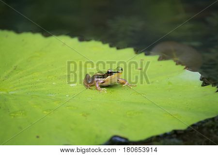 The frog dumpy frog tree frog frog on the lotus leaves