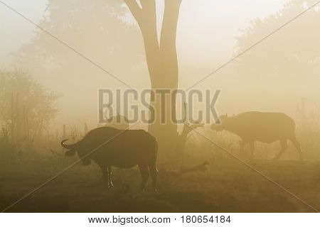 African buffalo in Kruger national park, South Africa ; Specie Syncerus caffer family of bovidae