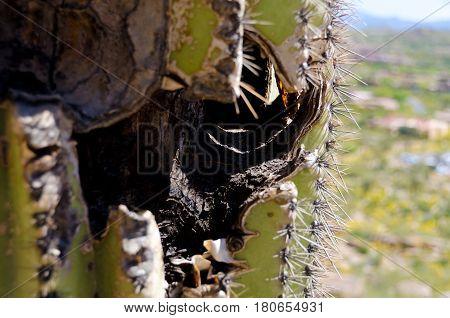 Weathered And Burned Trunk Of Saguaro Near Pinnacle Peak