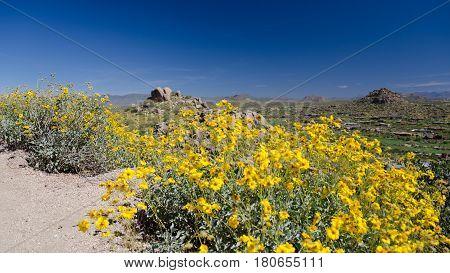 Brittlebush Flowers Frame Pinnacle Peak Trail