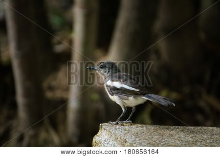 Image of a magpie perched on nature background.
