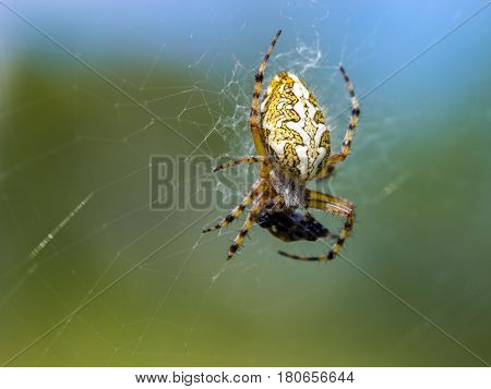 Aculepeira Ceropegia. Oak Leaf Spider, Spider Orbitela Acuminada, Feeding.