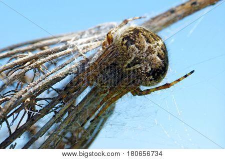Agalenatea Redii Is A Species Of 'orbweavers' Belonging To The Family Araneidae Subfamily Araneinae.