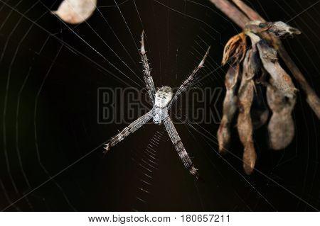 Multi-Coloured St Andrew's Cross Spider Argiope versicolor