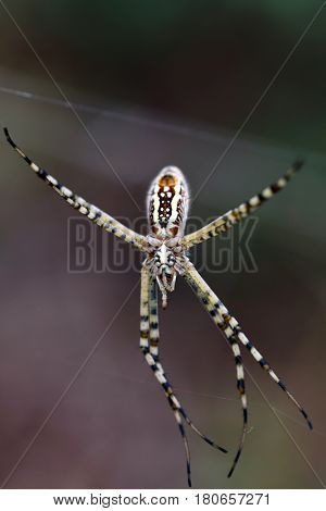 Orb-weaver spiders or araneids are members of the spider family Araneidae. They are the most common group of builders of spiral wheel-shaped webs often found in gardens, fields and forests.