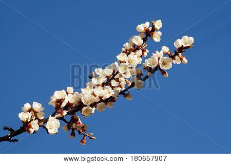 Spring flowers on the branch of apricot. Spring blossom of apricot branch white flowers branch tree.