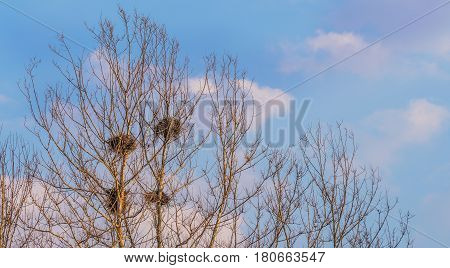 Four bird nests in the top of barren trees with a soft blue sky with puffy clouds in the background