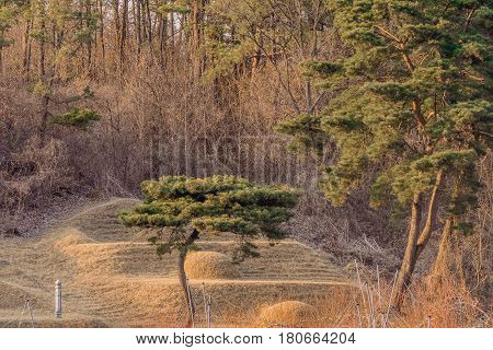 Evergreen tree with curved trunk cradling a burial mound in a wooded area on the side of a mountain