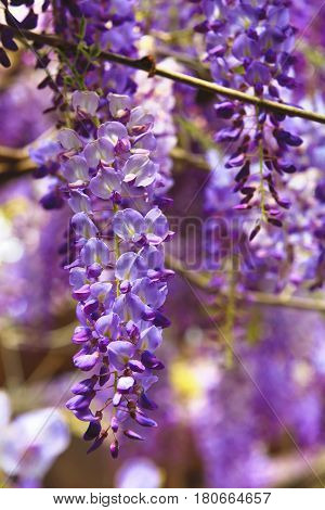 Purple wisteria flowers,beautiful scenery of purple with yellow flowers and buds blooming in the garden in spring,Bean Tree,Chinese Wisteria,Purple Vine