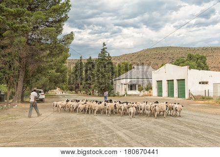 NIEU BETHESDA SOUTH AFRICA - MARCH 21 2017: Unidentified people herding Dorper sheep through the streets of Nieu-Bethesda an historic village in the Eastern Cape Province