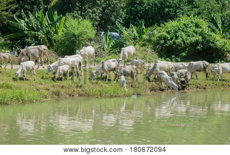 COLOR PHOTO OF COWS AT A RIVERBANK DRINKING WATER