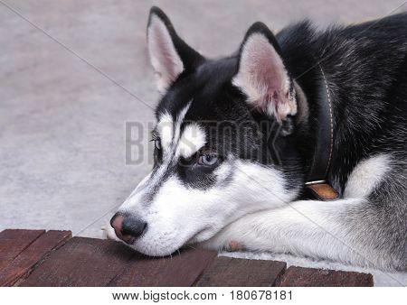 Close up on blue eyes of a beautiful husky dog. Portrait of siberian husky .