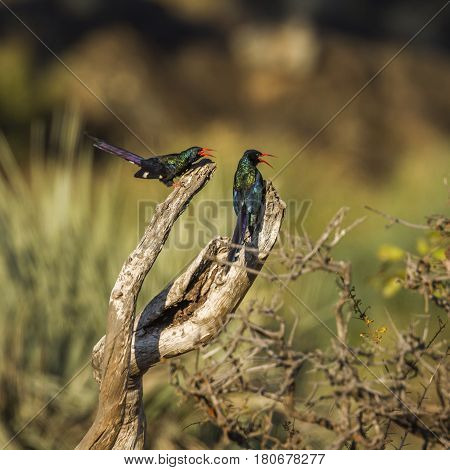 Green wood-hoopoe in Kruger national park, South Africa ;Specie Phoeniculus purpureus family of Phoeniculidae
