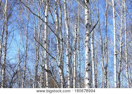 Trunks of birch trees against blue sky, birch forest in sunlight in spring, birch trees in bright sunshine