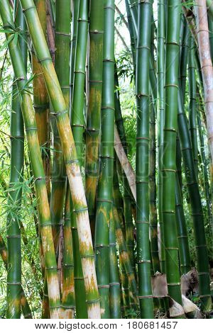 Green bamboo forest. Tropical plant background. Bamboo