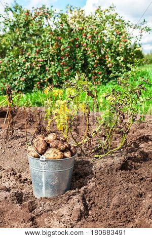 Freshly dug potatoes in metal bucket at the plantation in sunny summer day