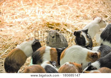 Group of guinea pigs feeding in the morning
