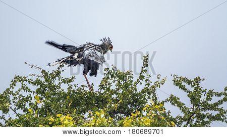 Secretary bird in Kruger national park, South Africa ; Specie Sagittarius serpentarius family of Sagittariidae