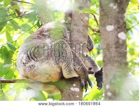 A tired koala sleeping on a branch in a tree