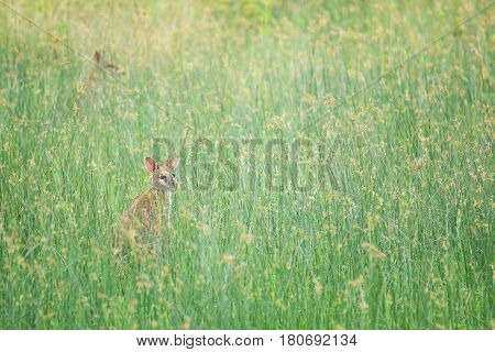 Two wallabies hiding in the high grass