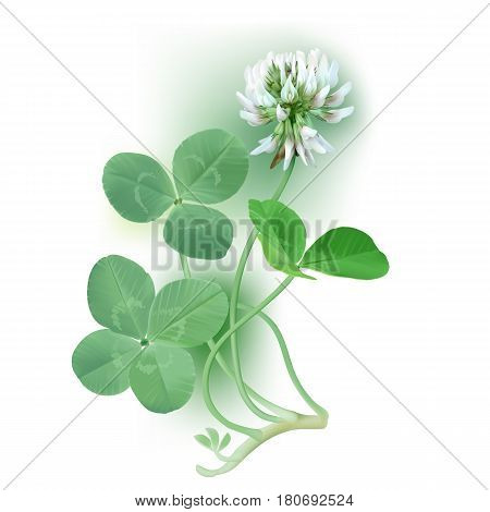 White Clover - Trifolium. Hand drawn vector illustration of a white clover flower, quarter foil and regular leaves on white background.