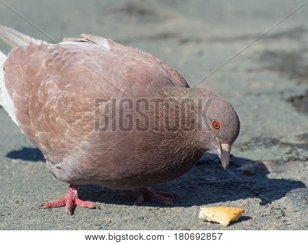 A closeup of a red-eye pigeon eating bread crumbs in the street on a sunny day