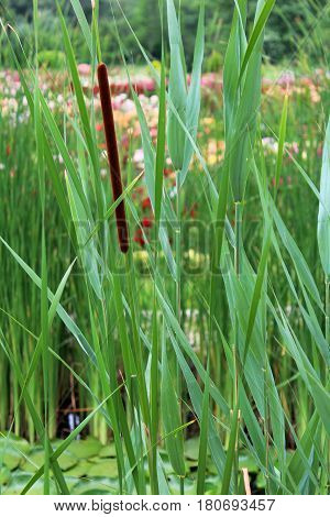 Bulrush Growing In The Pond