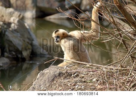 Northern white-cheeked gibbon sitting on rock and holding a branch