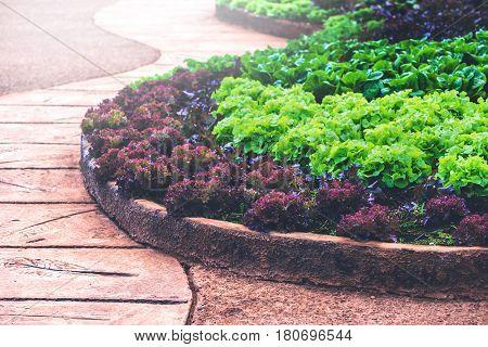 Natural background. lettuce garden. Fresh from the garden.