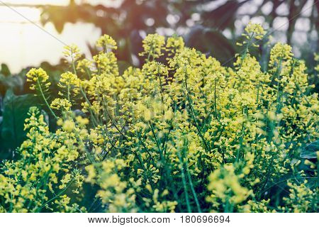 Natural background. Chinese kale garden. Fresh from the garden.Flowering kale