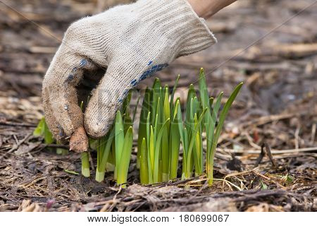 hands in gloves removing old leaves from the flowerbed in the garden