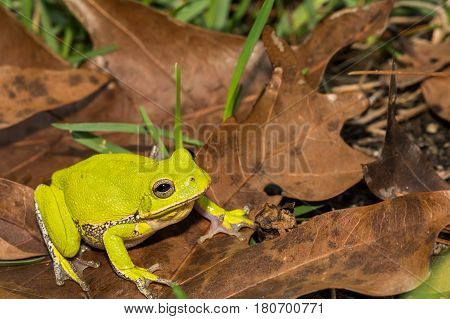 A Barking Tree Frog foraging on the ground in Florida.