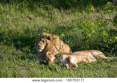 Lion and lioness relaxing on the grass in safari park