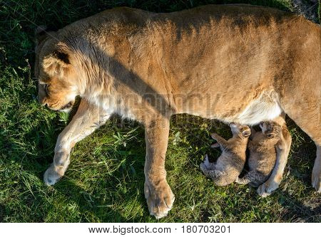 The lioness feeding its cubs on a grass