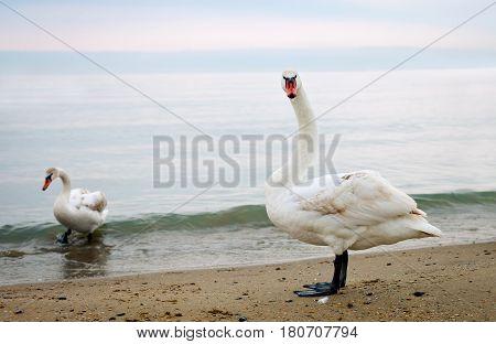 Several white swans walk along the seashore