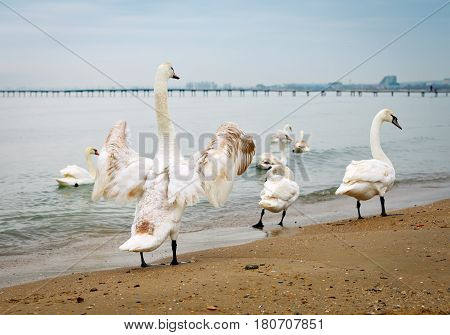 Several swans floating near the sea shore