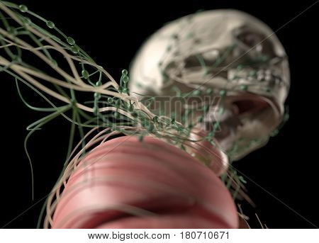 Anatomy showing thyroid, lymph nodes and lungs, upper body. 3d illustration
