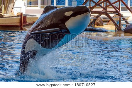 Orca jumping out of the water in the aquarium. The killer whale also referred to as the orca whale or orca is a toothed whale belonging to the oceanic dolphin family of which it is the largest member.